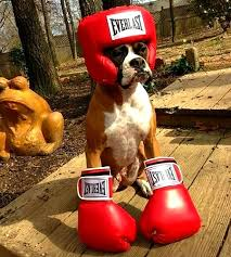 boxer dog howling boo cutepetcostumes deerwoodanimalclinic halloween
