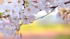 cherry blossom painting for kids wallpaper