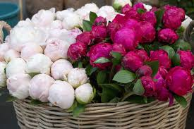 where to buy peonies where to find peonies in every day parisian