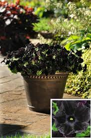flowers and plants 10 black flowers and plants to add drama to your garden top inspired