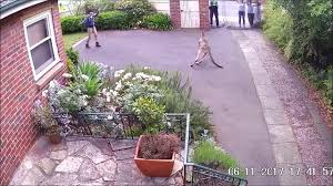 security camera footage of wildlife rescue kangaroo stray into