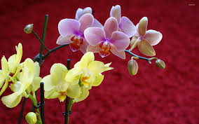 the most beautiful orchids wallpaper collection in the world aha