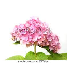 Hydrangea Flowers Hydrangea Stock Images Royalty Free Images U0026 Vectors Shutterstock