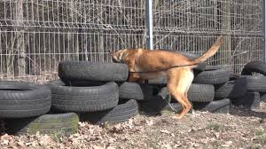 belgian shepherd exercise requirements jasna belgian malinois detection outside and inside youtube