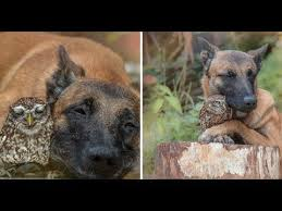 belgian shepherd owl tiny owl needs protection becomes best friends with giant german