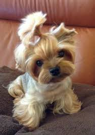 tea cup yorkie hair cuts 155 best yorkie haircuts images on pinterest pets doggies and