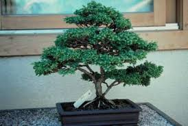 the japanese of growing miniature trees home guides sf gate