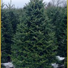 fraser fir tree identify the common fir trees of america