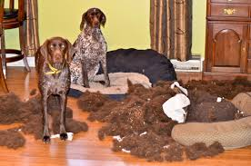 Doggie Beds Adventures Of A Gsp Hunting Dog A Tale Of Two Dog Beds And One
