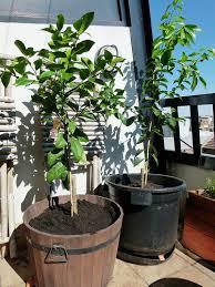dwarf plant small balcony garden ideas 494 hostelgarden net