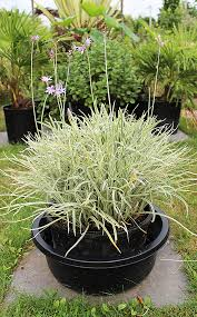 variegated society garlic
