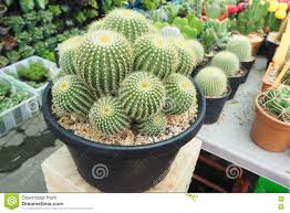 ornamental cactus tree on flower pot stock photo image 74316006