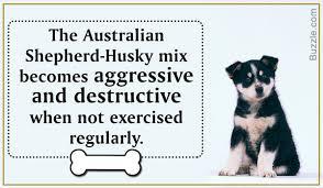 australian shepherd husky mix amazing information about the australian shepherd husky mix breed
