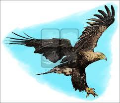 steller u0027s sea eagle clipart golden eagle pencil and in color