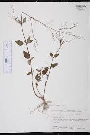 florida native aquatic plants boerhavia erecta species page isb atlas of florida plants