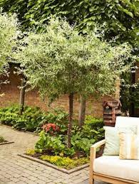 Small Trees For Backyard by Nikishi Willow Tree Pictures Small And Dwarf Ornamental Trees