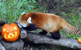 red panda at toronto zoo with red panda pumpkin lmao zoo animals