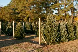 christmas trees for sale at state farmers market south carolina