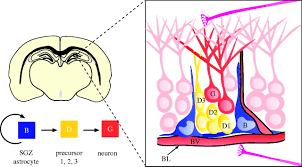 The Anatomy Of The Human Brain Brain Micro Ecologies Neural Stem Cell Niches In The