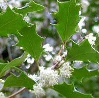 shade tolerant trees evergreen trees for shady gardens