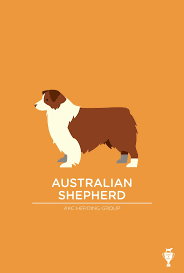australian shepherd jump height 79 best fionn the australian shepherd images on pinterest aussie