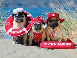 pugs in costume ideas for your on reader s