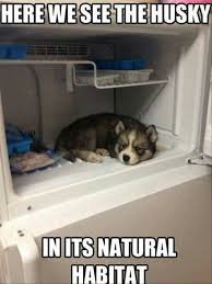 Funny Husky Memes - pin by lisa novak on puppies pinterest doggies and dog