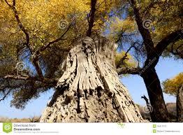 imagenes de bottom up bottom up view of golden trees stock image image of blue golden