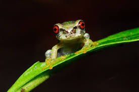 how to rescue these adorable tree frogs
