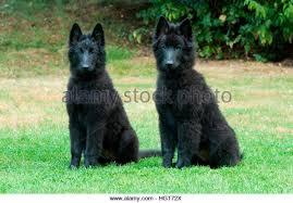 belgian sheepdog groenendael dog belgian shepherd groenendael two stock photos u0026 dog belgian