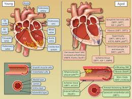 the intersection between aging and cardiovascular disease