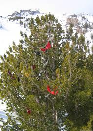mardi gras trees ski resorts with bras and shoe mardi gras trees
