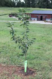 Transplant Fruit Trees - how and why to plant fruit trees in the fall grow your own