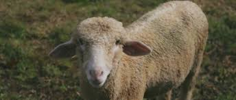 getting started with sheep