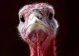turkey trivia and facts for thanksgiving world history