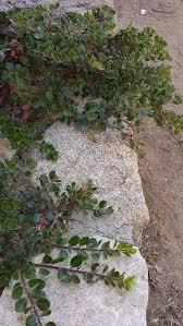 growing native plants arctostaphylos uva ursi point reyes manzanita sandberry