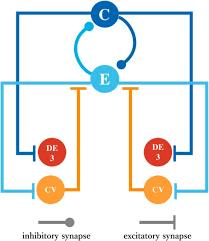 feedback signal from motoneurons influences a rhythmic pattern