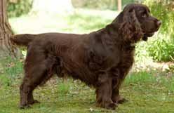 affenpinscher a vendre quebec sporting dogs ckc