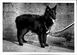 belgian shepherd ottawa the hatching cat page 19 of 21 true and unusual animal tales