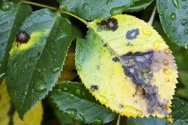 Rust Disease On Plants - preventing and dealing with black spot on roses