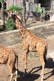 cora u0027s big day at the san antonio zoo haute in texas
