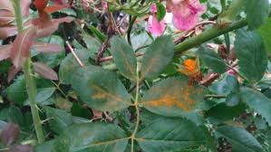 Rust Disease On Plants - fielding questions how to manage rust on rose bushes grand