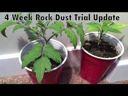 What Is Rock Dust For Gardens Rock Dust Indoor Trial 4 Week Update Peppers And Tomato Alberta