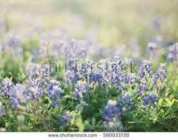 Bluebonnet Flowers - bluebonnet stock images royalty free images u0026 vectors shutterstock