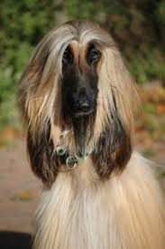 does an afghan hound shed afghan hound dogs soothe my soul pinterest pets puppys and