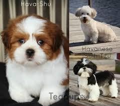 havanese vs bichon frise available puppies