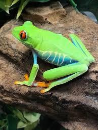 eyed tree frog wc agalychnis callidryas