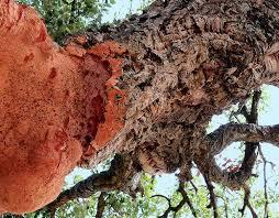 species profile cork oak quercus suber rainforest alliance