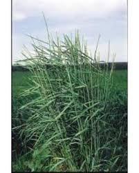 spectacular deal on the gardener slender wheatgrass ornamental