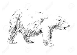 hand drawing a polar bear vector illustration royalty free